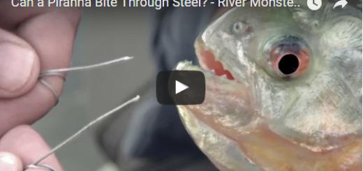 Can a Piranha Bite Through Steel