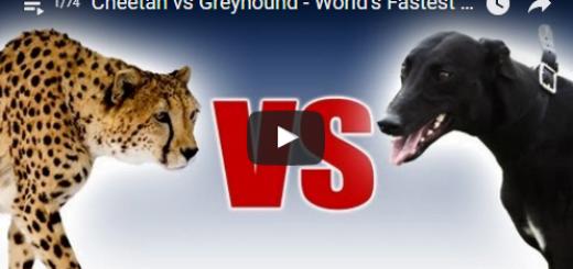 Cheetah vs Greyhound