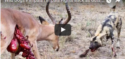 Wild Dogs v Impala