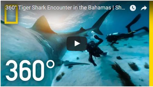 360° Tiger Shark Encounter in the Bahamas
