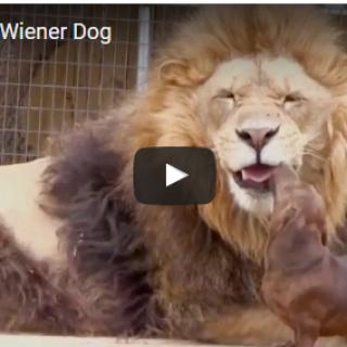 Lion Loves Wiener Dog