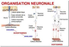 tissus-nerveux