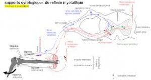 réflexe myotatique